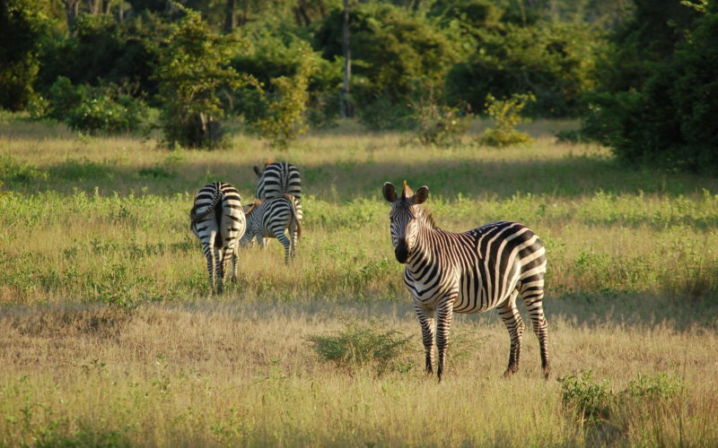 South Luangwa National Park, Zambia, zebra